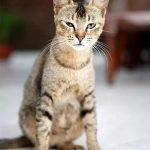 Цейлонская кошка - любознательная порода