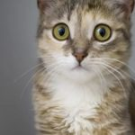 Цейлонская кошка - описание породы