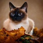 Тайская порода кошек - описание породы