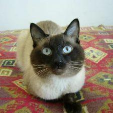 Тайская порода кошек - содержание