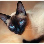 Тайская порода кошек - уход