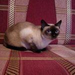 Тайская порода кошек - верная порода