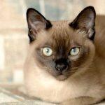 Тонкинская кошка - игривая порода