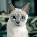 Тонкинская кошка - особенности породы
