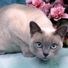 Тонкинская кошка - уход