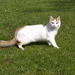 Турецкий ван - кошки, которые не боятся воды