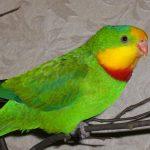 Барнардовый попугай - декоративный вид