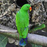 Благородный попугай Электус - дружелюбный вид