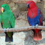 Благородный попугай Электус - описание вида