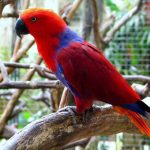 Благородный попугай Электус - привязывается к человеку