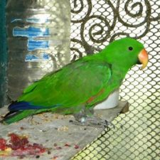 Благородный попугай Электус - уход