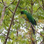 Блестящие попугаи - дикий вид