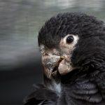 Большой попугай ваза - необычный вид