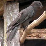 Большой попугай ваза - описание вида