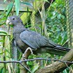 Большой попугай ваза - особенности вида