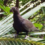 Большой попугай ваза - редкий вид