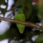 Дятловые попугайчики - описание вида