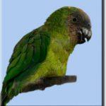 Дятловые попугайчики - подвид волнистых попугаев