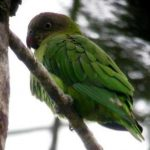 Дятловые попугайчики - яркий вид
