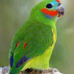 Фиговый попугай - активный вид