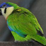 Фиговый попугай - экзотический вид