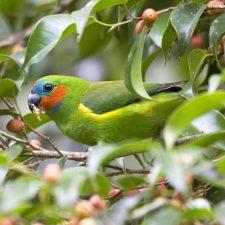 Фиговый попугай - описание вида