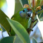 Фиговый попугай - -особенности вида