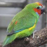 Фиговый попугай - содержание