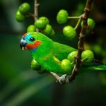 Фиговый попугай - уход