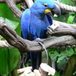 Гиацинтовый попугай ара - дружелюбный вид