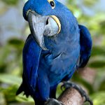 Гиацинтовый попугай ара - крупный вид