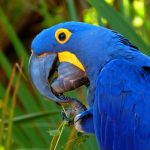 Гиацинтовый попугай ара - особенности вида