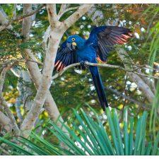 Гиацинтовый попугай ара - уход