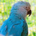 Голубой ара - любознательный вид