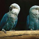 Голубой ара - содержание