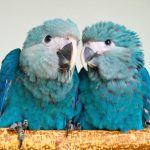 Голубой ара - уход