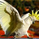 Какаду большой желтохохлый - активная порода