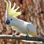 Какаду большой желтохохлый - компанейская порода