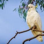 Какаду большой желтохохлый - особенности породы