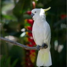 Какаду большой желтохохлый - содержание