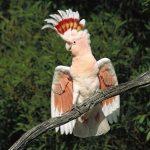 Какаду-инка - редкая порода