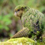 Какапо - добродушный попугай
