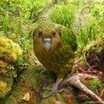 Какапо - общительный попугай