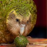 Какапо - описание вида