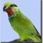 Карликовые попугаи - -описание вида