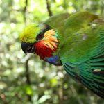 Карликовые попугаи - содержание