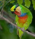 Карликовые попугаи - тихий вид