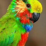 Карликовые попугаи - уход