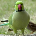 Кольчатый попугай - дружелюбный вид