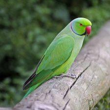 Кольчатый попугай - описание вида